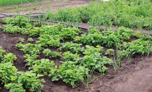 Huerto en la tierra con hierbas saludables