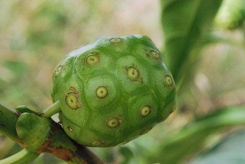La fruta del noni, con muchas propiedades