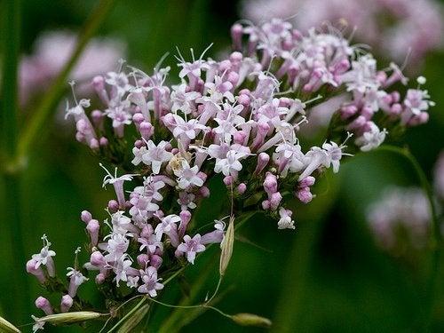 La valeriana, una planta para el manejo del insomnio