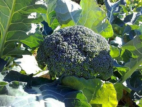 ¿Qué beneficios nos aporta el brócoli?