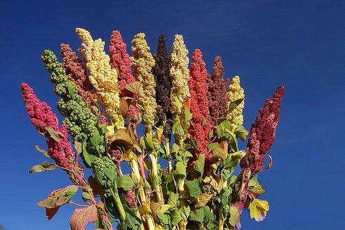 Conociendo un alimento increíble: la Quinoa