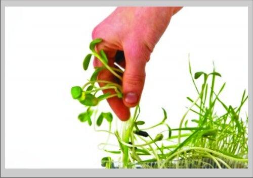 Los beneficios de comer germinados de soja