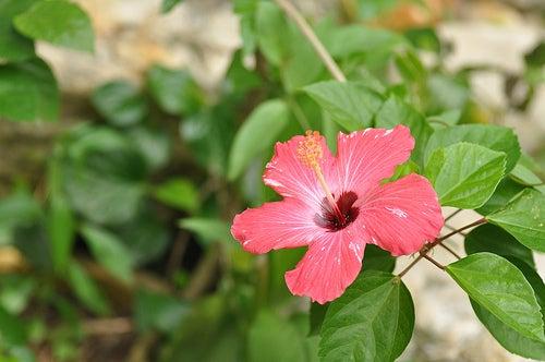 ¿Qué saber sobre el Hibiscus?