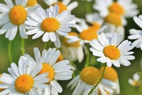 Plantas aromáticas como alimentos curativos.