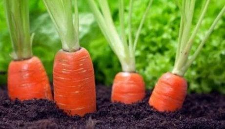 Que Beneficios Proporcionan Las Zanahorias Las vitaminas de la zanahoria son: que beneficios proporcionan las zanahorias