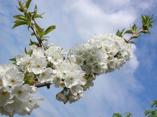 Antonio.. rama floreada cerezo