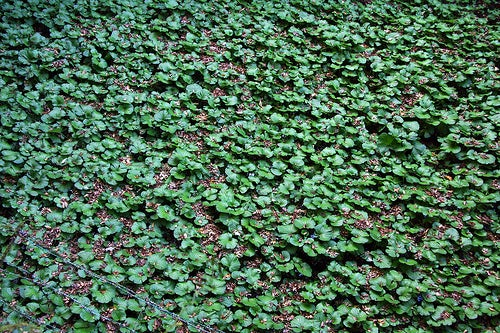 Cultivo de Wasabi