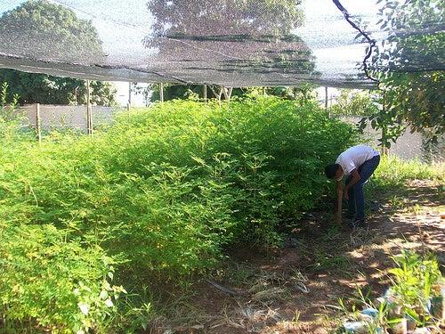 Plantación de moringa