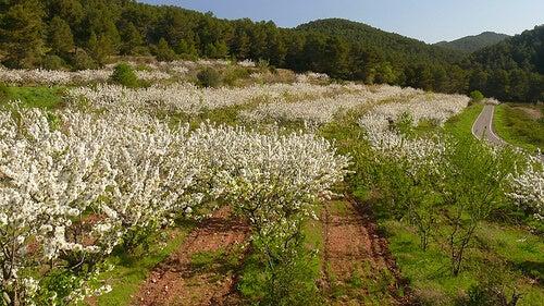 Campo con árboles de cereza