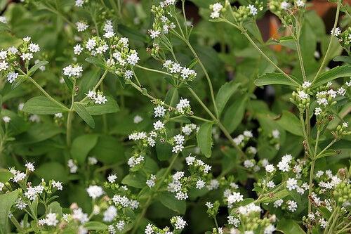 Flores de edulcorantes