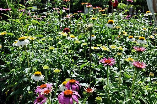 Jardín de equinaceas