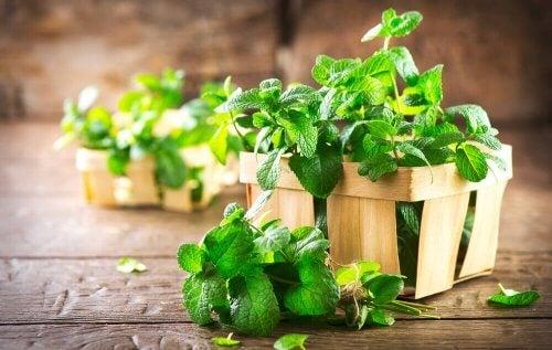 La menta es una planta con propiedades para el sistema digestivo