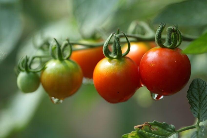 Tomates en su mata tras la lluvia