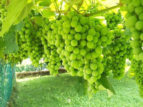 Davide uva blanca