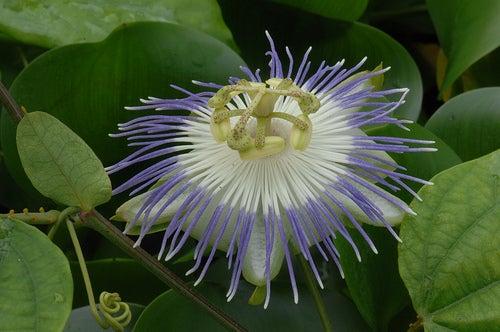 passiflora o flor de la pasión contra el estrés
