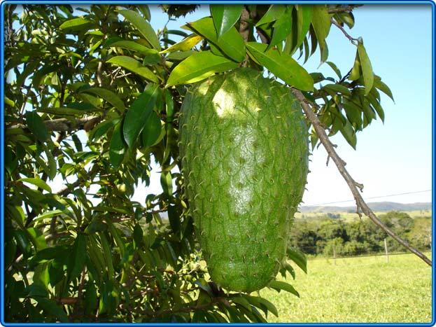 Tanto el fruto como las hojas de la graviola son de gran beneficio para la salud.
