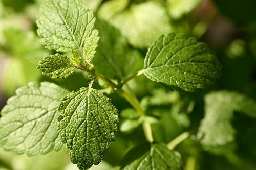 Posee propiedades antispasmódicas; por lo cual también se emplea en la reanimación de desmayados y como calmante natural.
