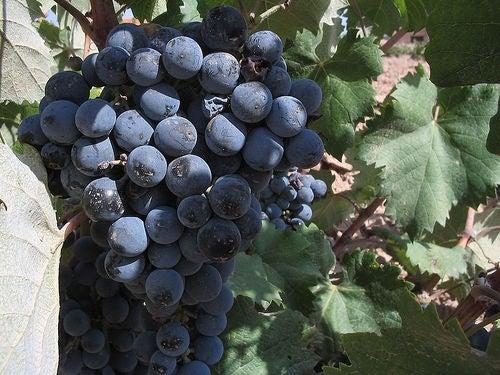 Notre uva negra