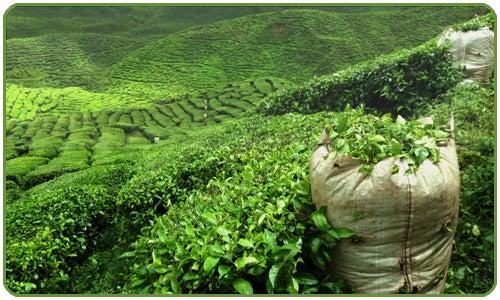 El té verde se ha convertido en una de las bebidas más populares en el mundo.