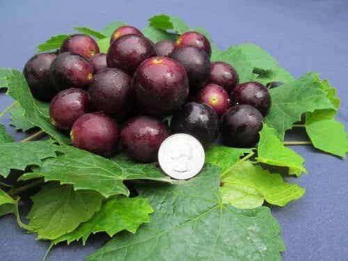 Muscadine: la uva inteligente