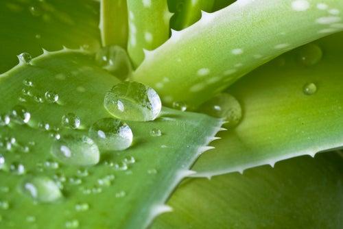 """""""Aloe"""