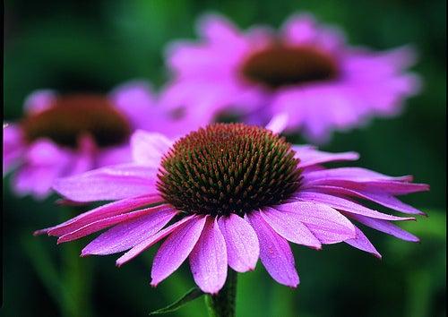 Echinacea purpurea - roter Sonnenhut Bluehende Pflanze.; Echinacea purpurea - purple coneflower, flowering Plant.; Echinacea purpurea - roter Sonnenhut, BlŸhende Pflanze.; Echinacea purpurea - purple coneflower, flowering plant.; Purple Coneflower - Echin