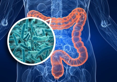 Intestinal flora in the gut.