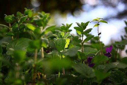 La menta y otras hierbas medicinales son de gran ayuda frente a los problemas en las mucosidades.