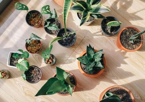 Plantas para decorar el hogar.