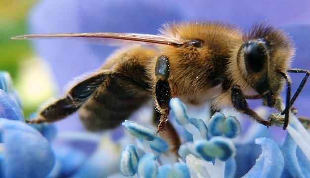 Abeja buscando néctar
