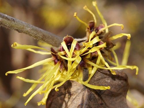 El hamamelis es una de las plantas medicinales para tratar las varices
