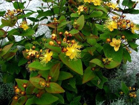plantas para el hipotiroidismo