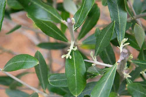 Beneficios de la hoja de olivo para la salud