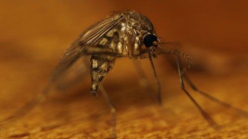 Comezón picadura de mosquito
