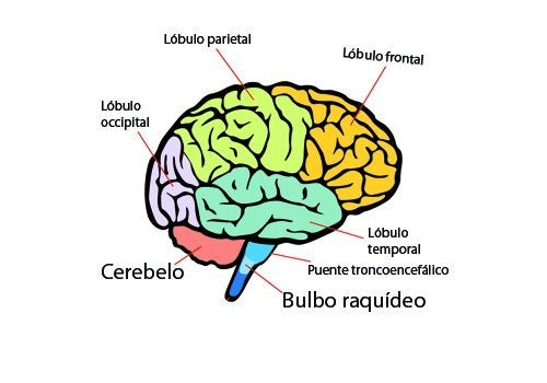 El cerebro: ¿Cuáles son las partes y funciones principales?