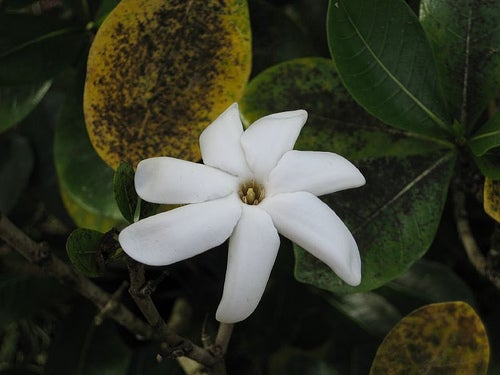 flor tiare Ros in wonderland