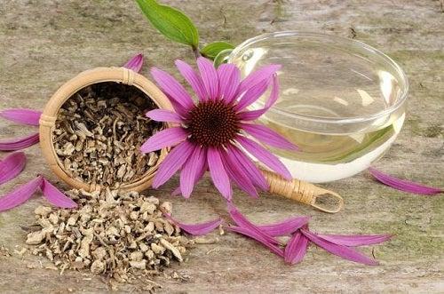 Flor y semillas de Equinacea.