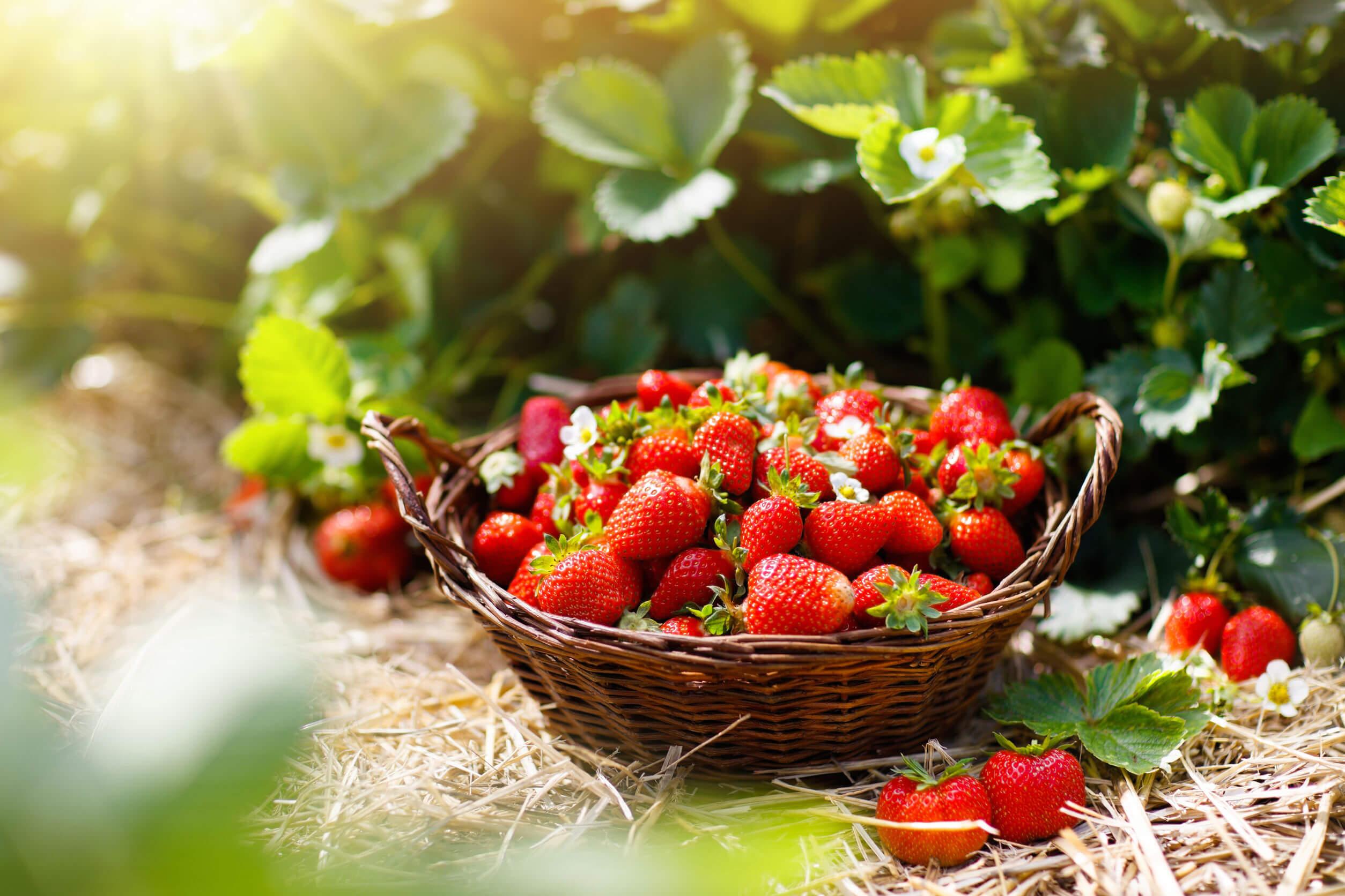El consumo regular de fresas podría ser útil para cuidar a tu corazón.