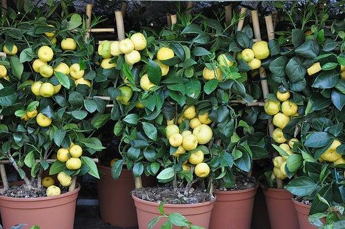 lima persia douneika o limón dulce