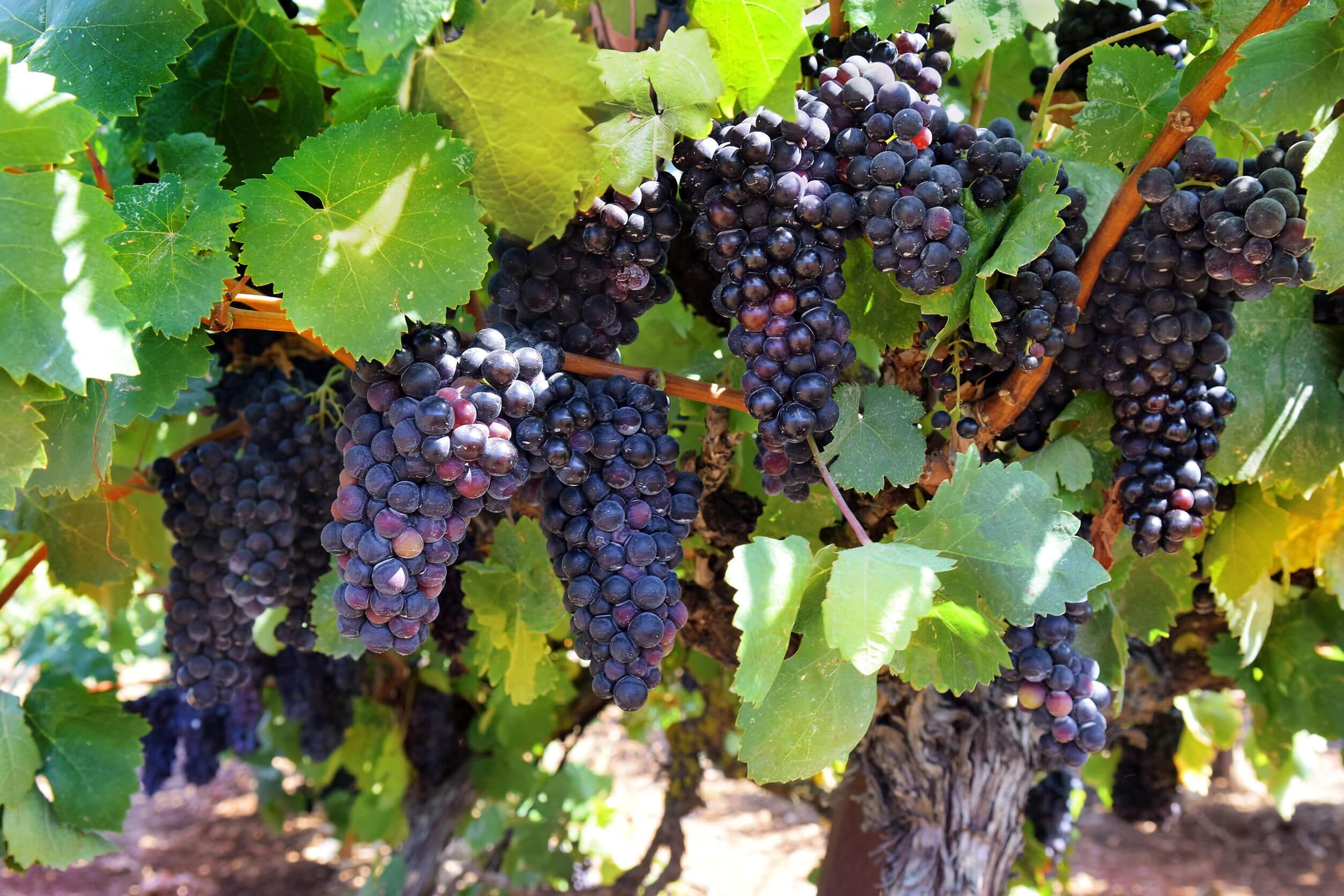 Las uvas son una buena opción para cuidar tu corazón.