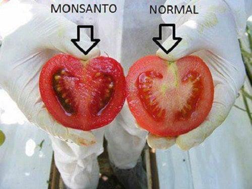 Cuáles son los peligros de los alimentos transgénicos