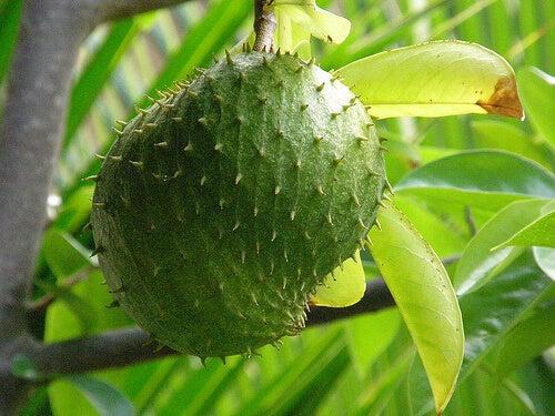 Fruto de guanábana en el árbol.