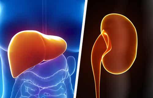 Cómo mantener el hígado y los riñones sanos de manera natural