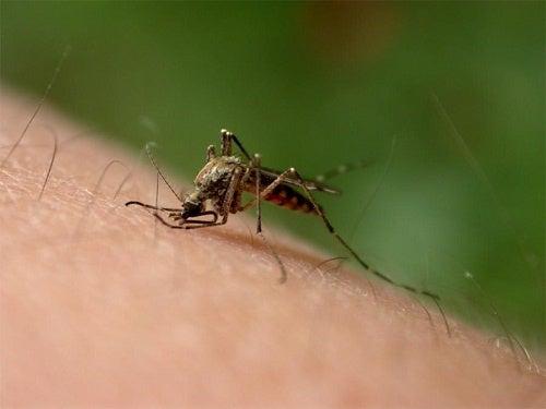 Mosquito picando