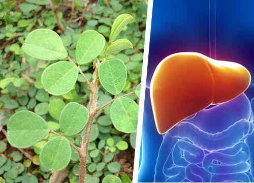 Conoce la planta que ayuda al hígado a regenerarse