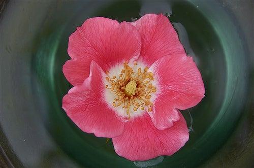 agua rosa petalouda62