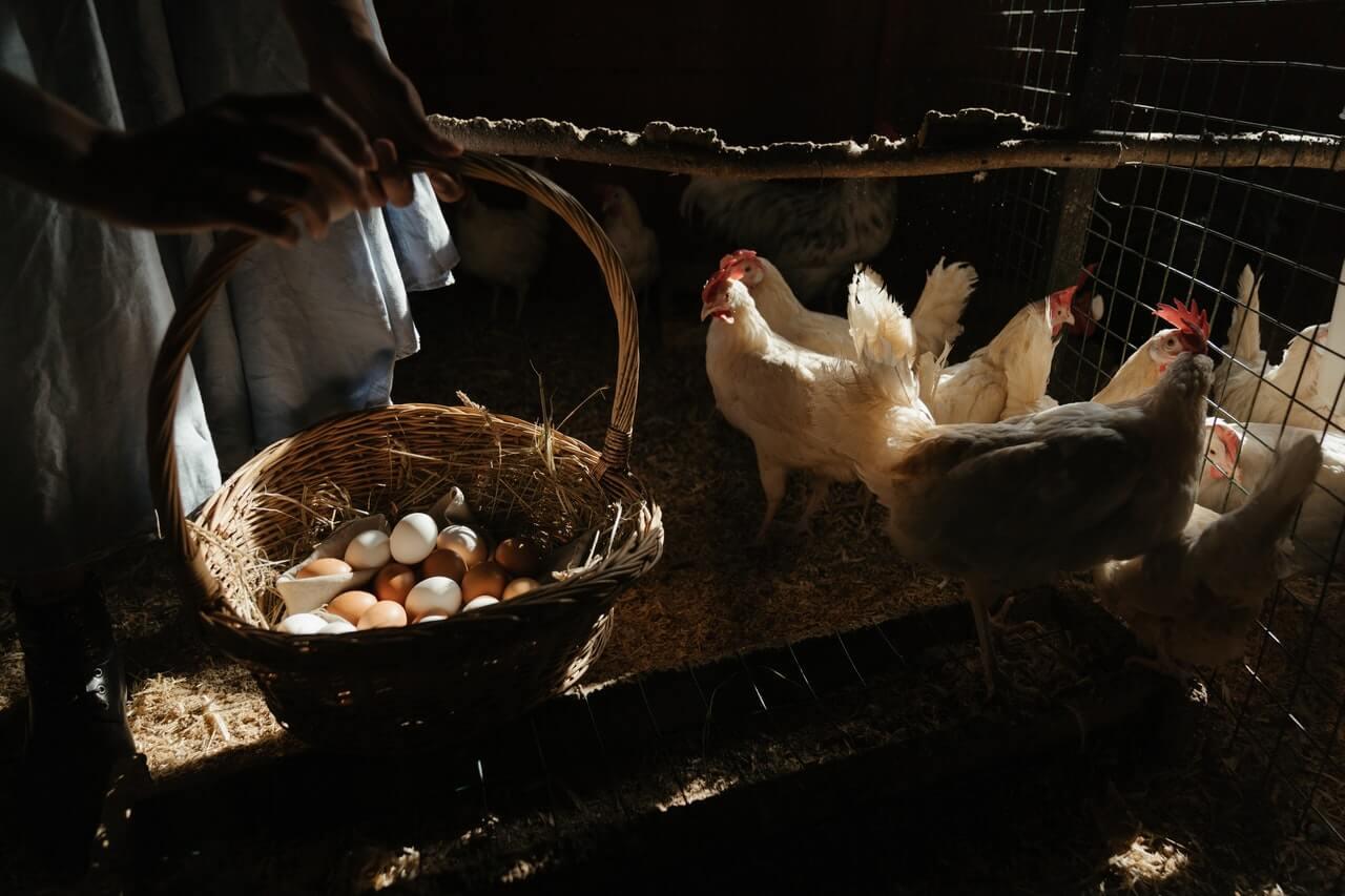 Gallina ponedora de huevos en un corral.