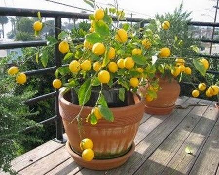 Como-cuidar-limoneros