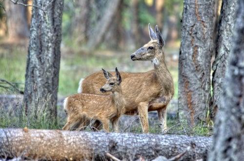 ciervos animales huida Park Ranger