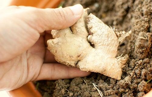 Cómo cultivar una planta de jengibre en el interior de tu casa